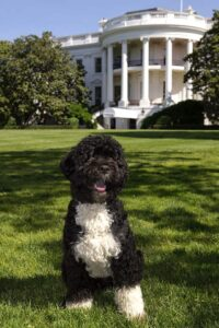 Bo, the Obama's dog.