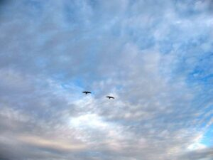 Two hawks in flight over Coachella Valley Preserve in Thousand Palms, CA.