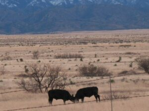 Cattle in the former Apache lands