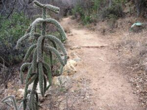 Cholla cactus at Ft. Bowie National Historic Site