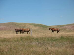 Horses near Wounded Knee