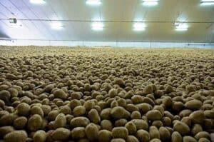 Plenty of potatoes