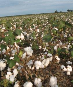 Cotton fields near Route 61.
