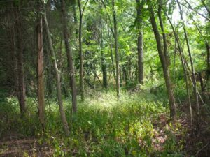 The Pine Thicket