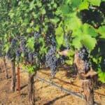 Benzinger Family Winery