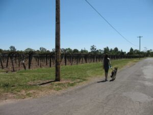 Walking a dog in the Sonoma Valley