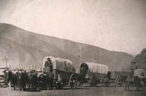 Oxen pulling covered wagons on the Oregon Trail