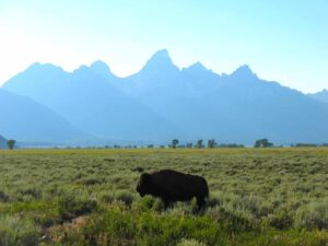 A buffalo stands before the Grand Tetons in Grand Tetons National Park