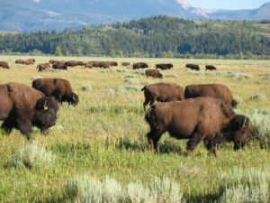 Bison herd in Grand Tetons National Park with Brushbuck Scenic Tours