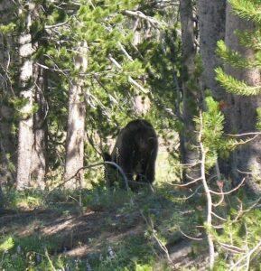 A black bear at Yellowstone National Park