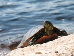 A turtle near Lake Vermilion in Minnesota