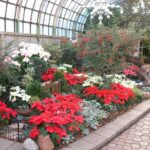 Lincoln Park Conservatory Poinsettia show